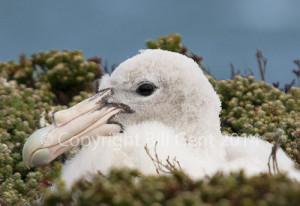 A Southern Giant Petrel chick, Falkland Islands