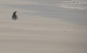Gentoo penguin plodding through wind-blown sand, Bleaker Island